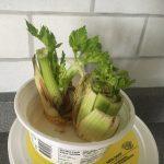 Planter des pieds de celeri-1
